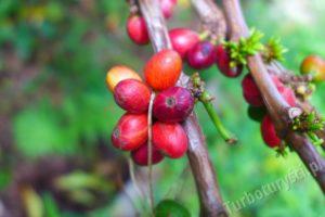 Ziarna kawy na plantacji
